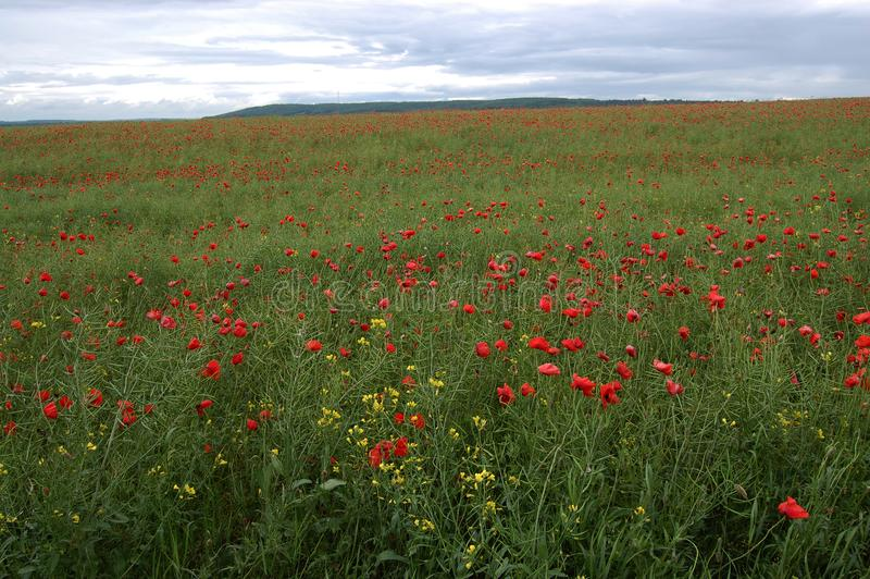 Red poppies on a green field royalty free stock images