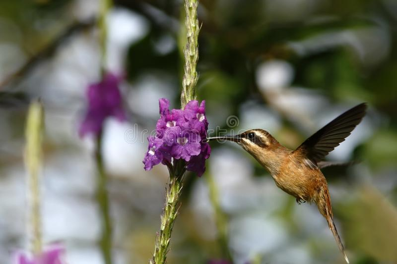 Stripe-throated Hermit - Phaethornis striigularis, hovering next to violet flower in garden, bird from mountain tropical forest. Costa Rica, natural habitat royalty free stock images