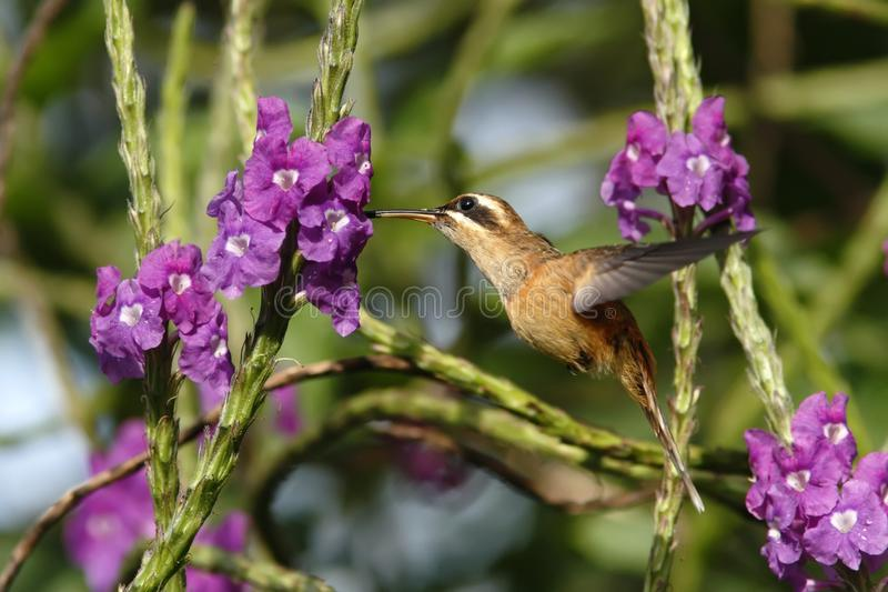 Stripe-throated Hermit - Phaethornis striigularis, hovering next to violet flower in garden, bird from mountain tropical forest. Costa Rica, natural habitat royalty free stock photo
