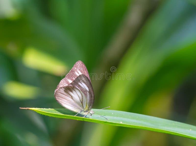 Striped бабочка альбатроса в саде стоковые изображения