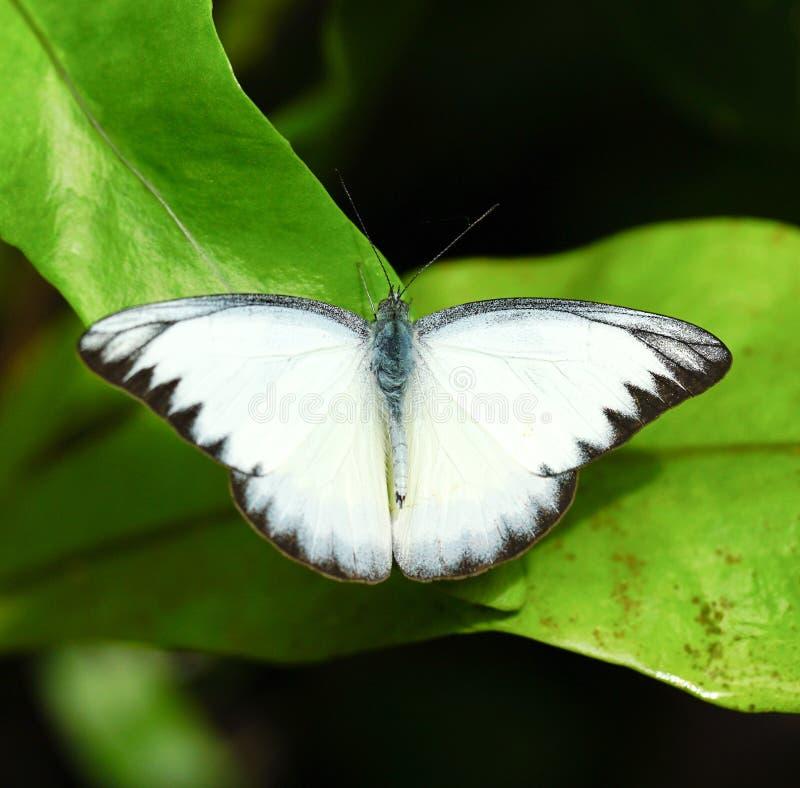 Striped бабочка альбатроса в саде стоковая фотография rf