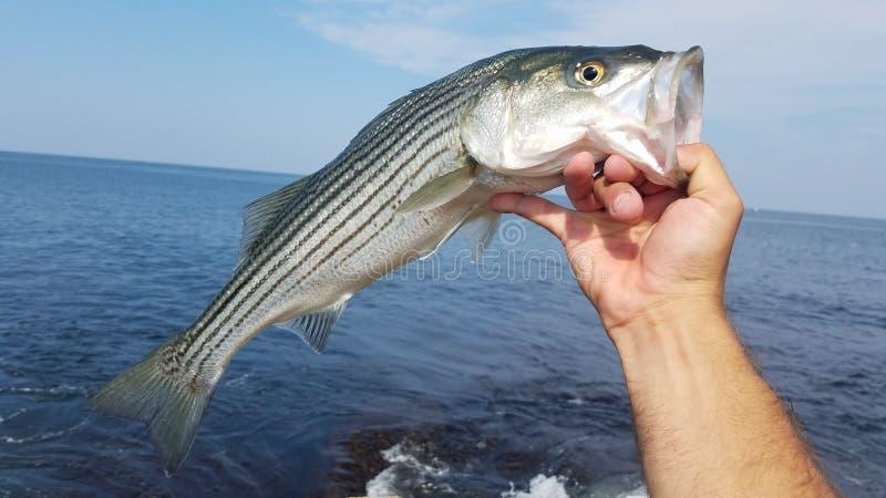 striped бас стоковое фото