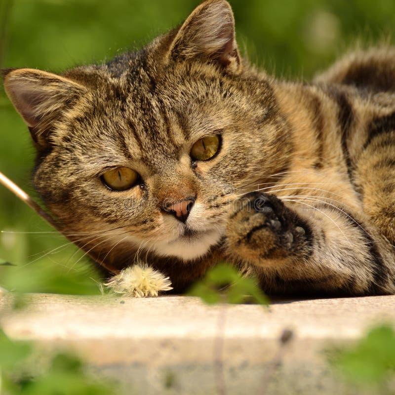 Striped кот - портрет стоковое фото rf