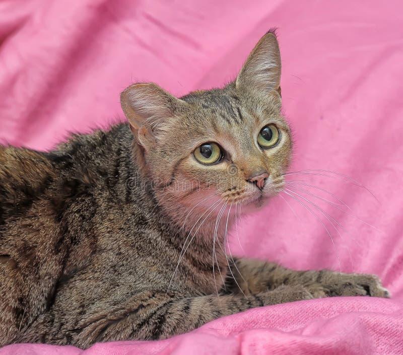 striped кот с закрепленным ухом стоковое фото
