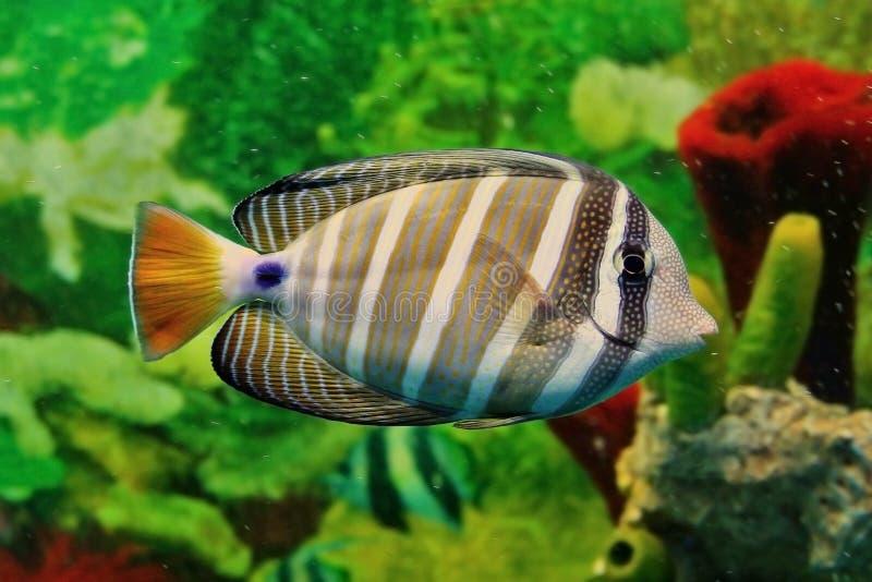 Striped морские рыбы стоковые фотографии rf