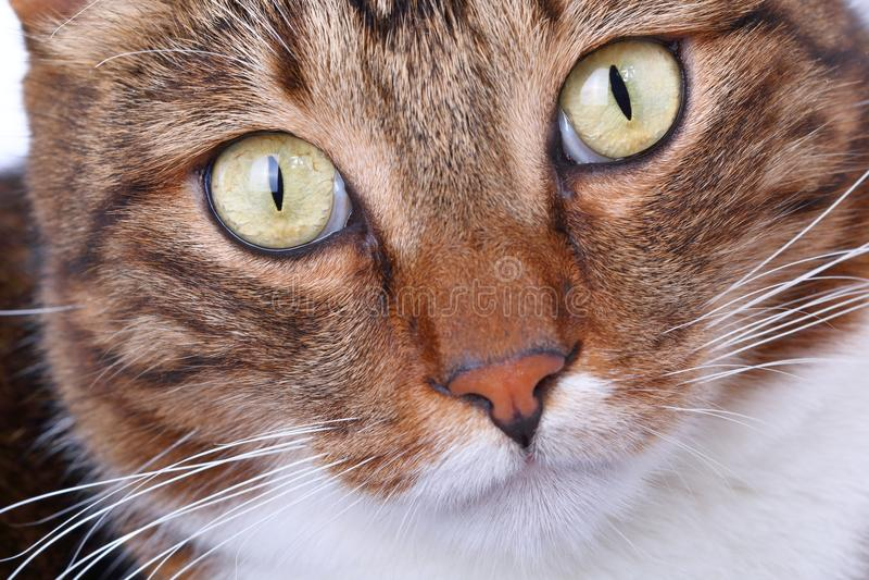 Striped намордником конец-вверх домашней кошки стоковое фото rf