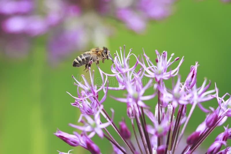 striped пчела летает вокруг фиолетового цветка стоковые фотографии rf
