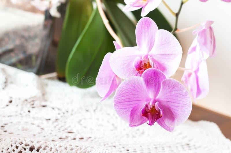 Striped розовый конец цветка орхидеи вверх стоковая фотография