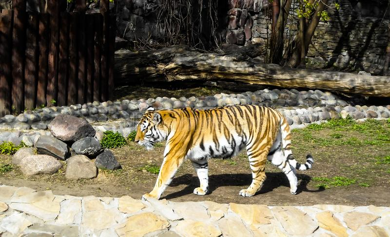 Striped тигр на зоопарке стоковое фото