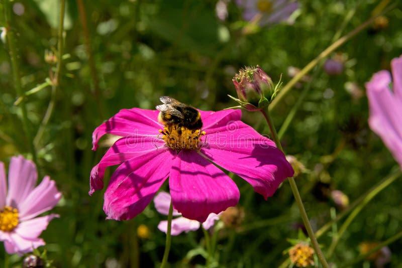 Striped шмель сидит на розовой маргаритке в саде и опыляет цветок стоковая фотография rf
