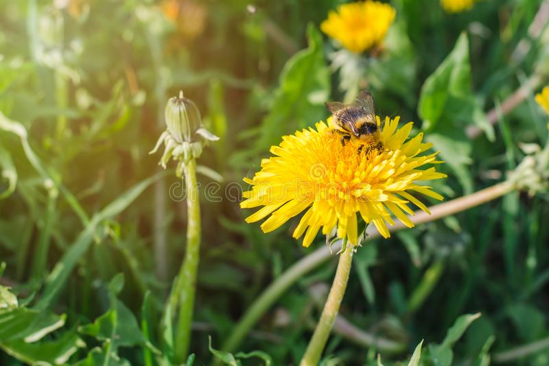 Striped шмель собирает цветень от желтого одуванчика в зеленом луге на день весны солнечный стоковые изображения