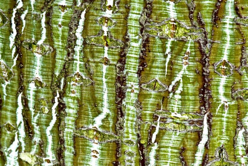 Striped bark royalty free stock photo