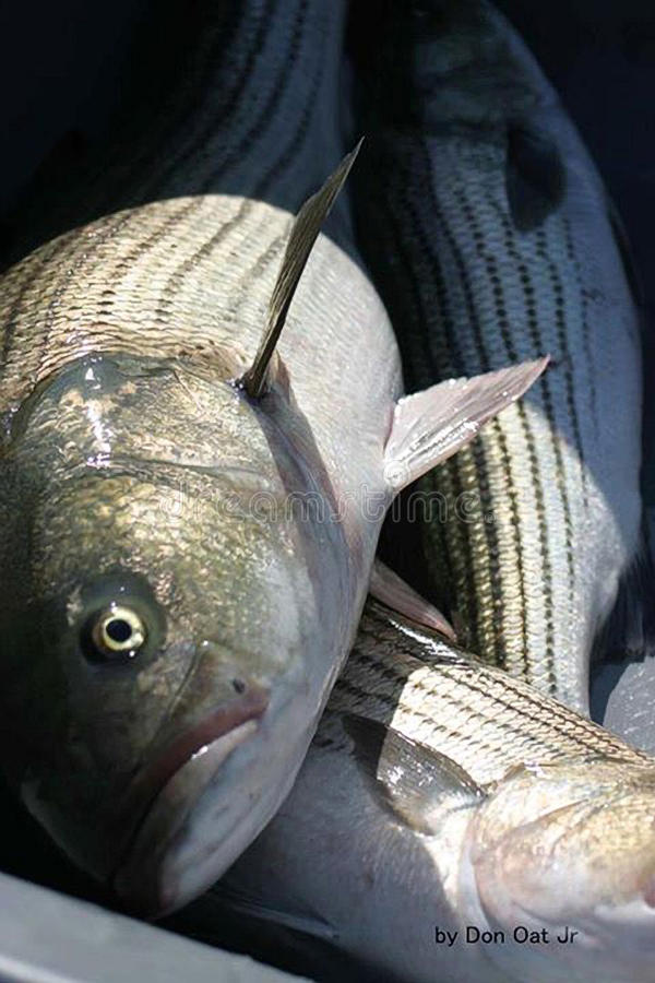 Striped-bass royalty free stock photo