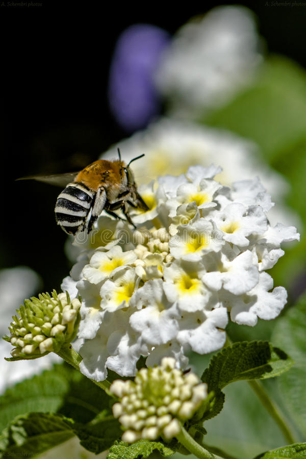 Striped bee pollinated flower stock photography