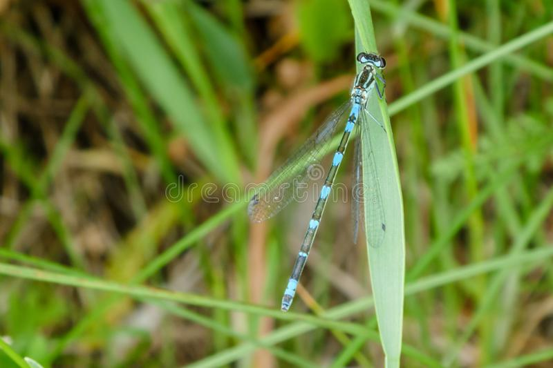 Striped blue black dragonfly in a natural environment, sitting on a green blade of grass. Macro close up with copy space. Magnificent blue dragonfly on a blurred royalty free stock photo