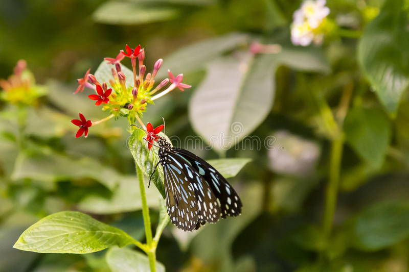 Striped Blue Crow Butterfly. A beautiful brown and white striped, spotted butterfly with blue on the forewings and a white spotted body flutters as it feeds on royalty free stock photos
