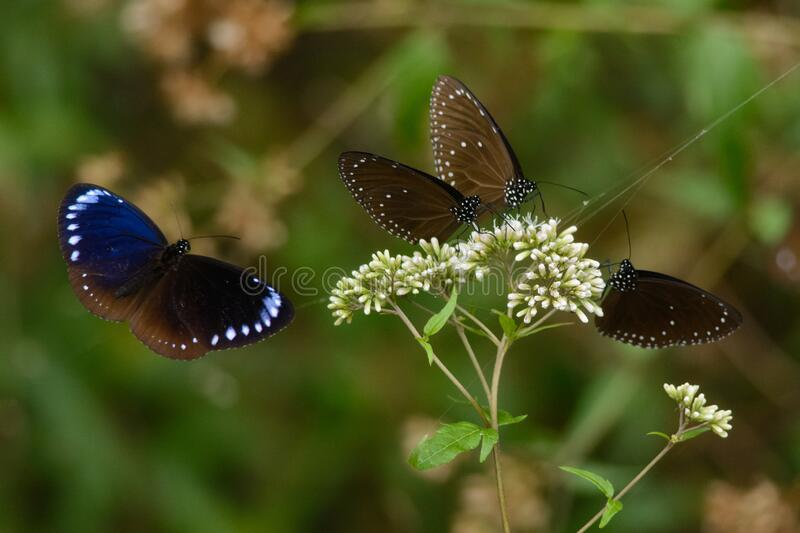 Striped Blue Crows. Famous migrating butterflies of Taiwan - Striped Blue Crows - in Maolin valley national park