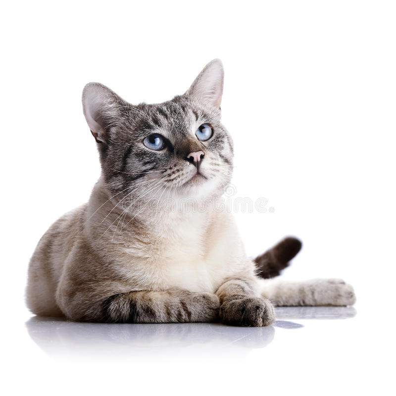 Striped blue-eyed cat. Portrait of a striped blue-eyed cat. Striped cat. Striped not purebred kitten. Small predator. Small cat royalty free stock photography