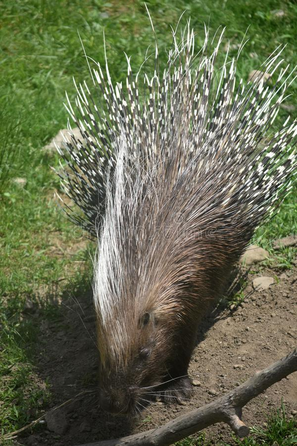 Striped brown and white quills on a wild porcupine. Cute porcupine with striped brown and white quills royalty free stock photo