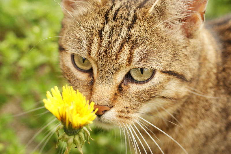 Striped cat. Smells a dandelion stock photography