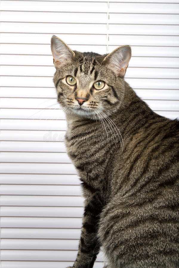 Download Striped Cat stock image. Image of domestic, kitty, feline - 18309571