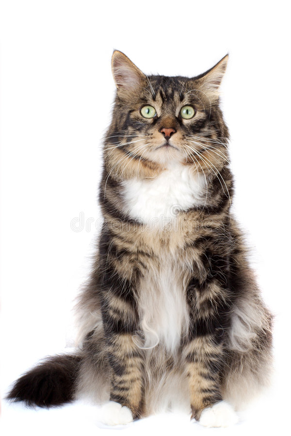 Striped cat. On a white background. Isolated stock photo