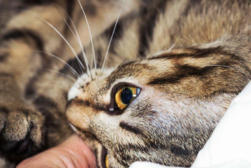 Striped cat focus on eye.  stock image
