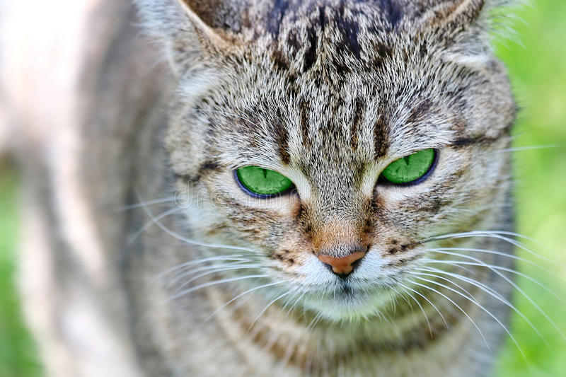 Download Striped Cat With Green Eyes Stock Photo - Image of animal, cute: 39512042