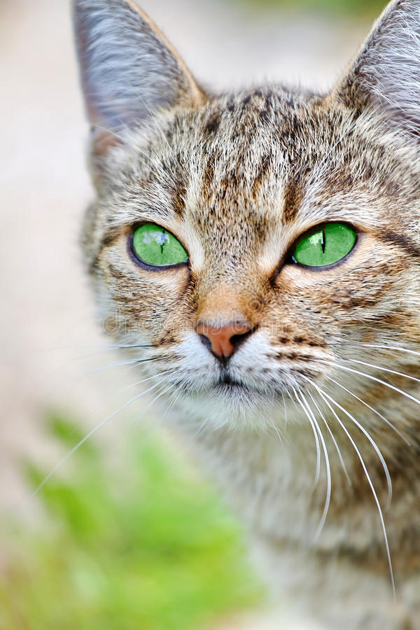 Download Striped Cat With Green Eyes Stock Image - Image of hunter, cute: 39512201