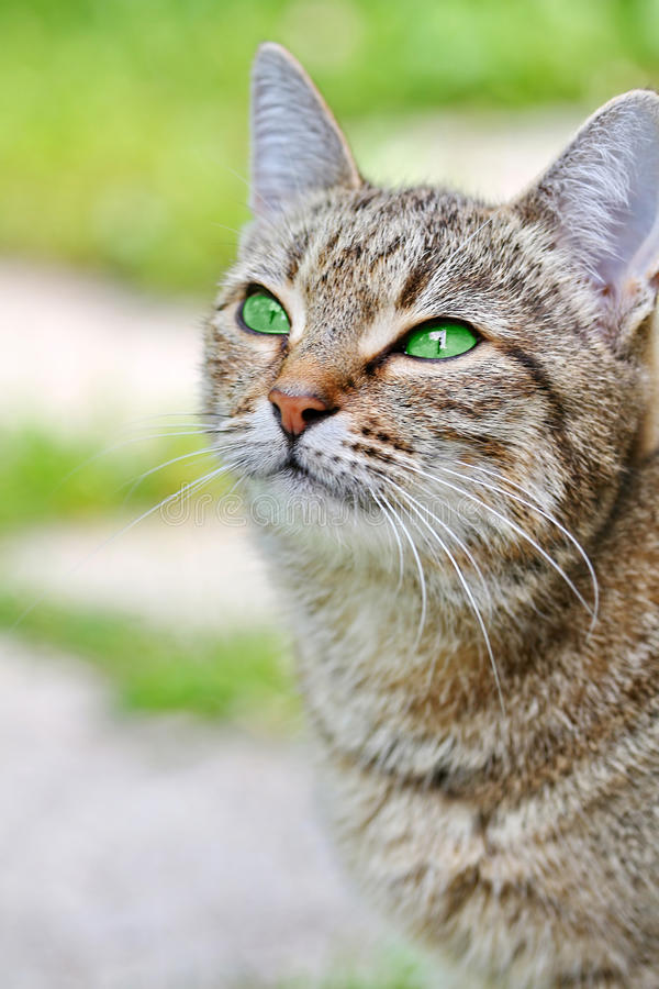 Download Striped Cat With Green Eyes Stock Image - Image of bengal, mustache: 39512387