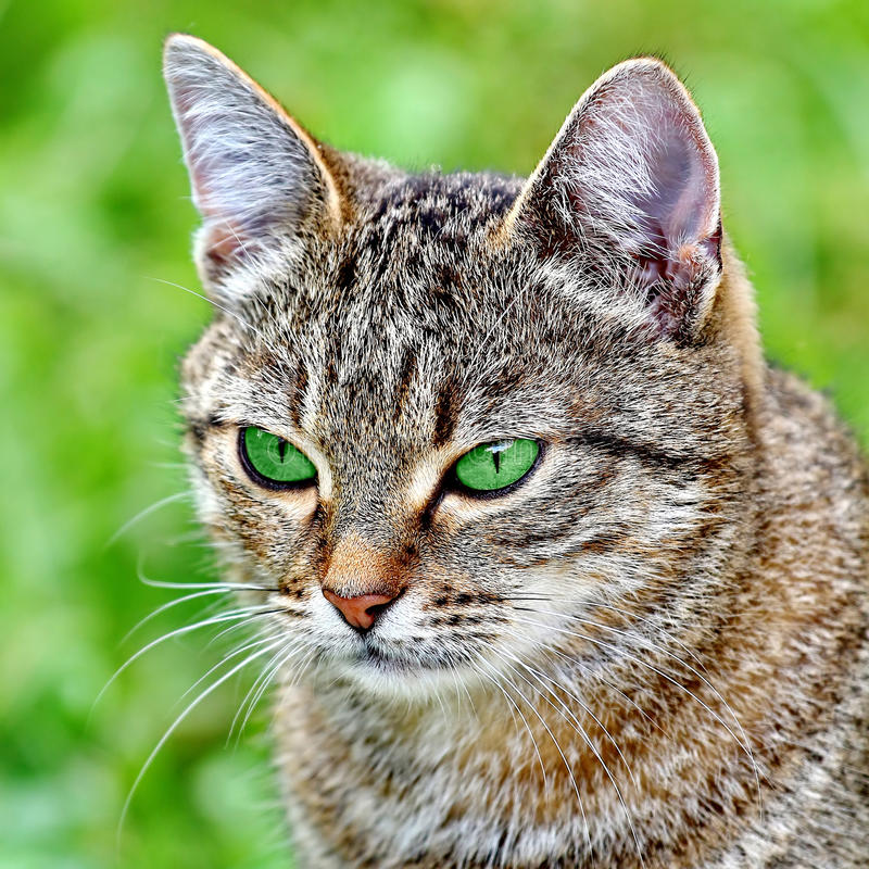 Download Striped Cat With Green Eyes Stock Image - Image of closeup, mouth: 39513123