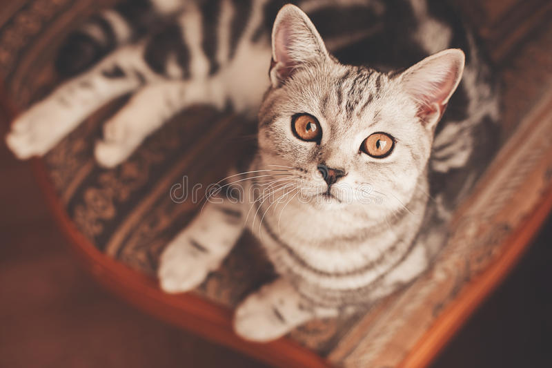 Striped cat lying on chair. Cute striped cat lying on chair stock images