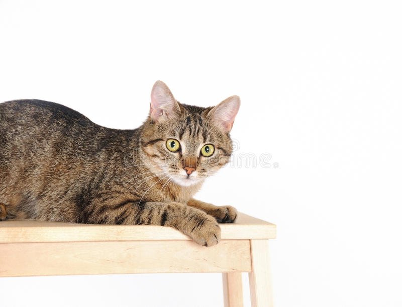 Striped cat lying on a chair and looks at camera stock image
