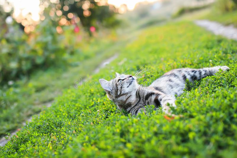 Portrait of a cute striped cat lying on a lush green meadow on a warm summer evening in the glare of the sunset funny raising his. Striped cat lying on a lush stock image