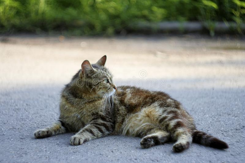 Striped cat lying on the road royalty free stock photos