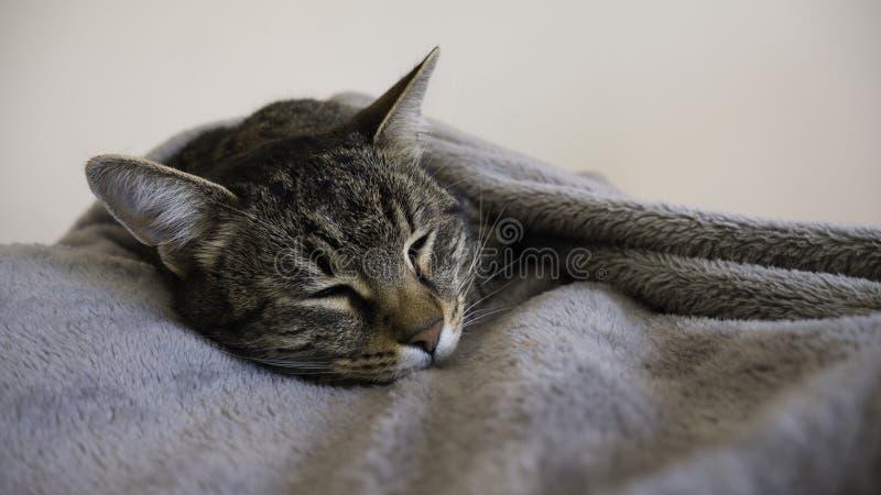 Striped  cat sleeps tucked in a gray blanket. Striped cat sleeps tucked in a gray blanket stock photography