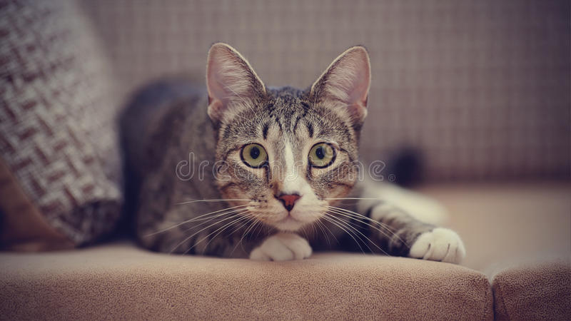 The striped cat on a sofa. The striped cat lies on a sofa stock photo