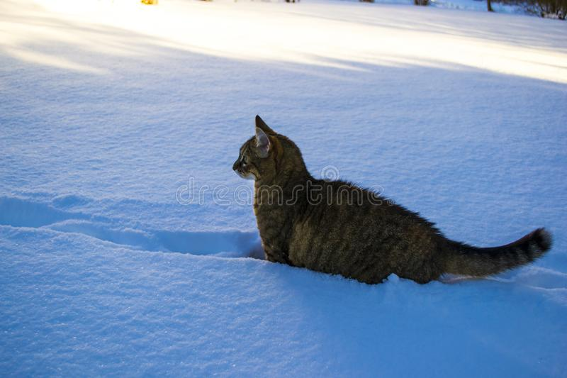 A striped cat walking in the snow. Animal winter season background. royalty free stock photography