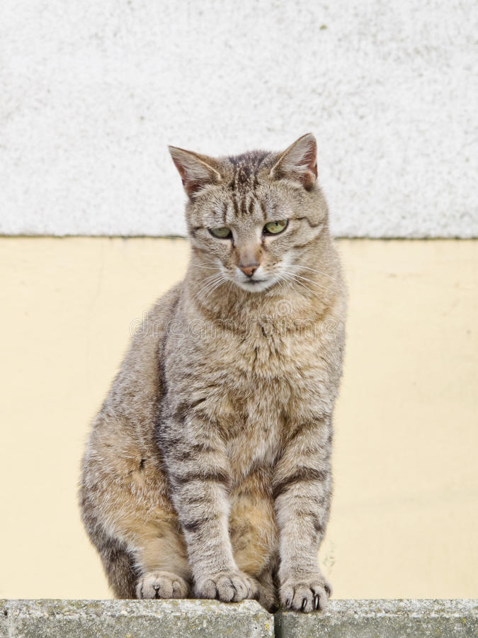 Download Striped cat on wall stock image. Image of furry, beautiful - 32516239