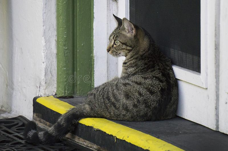 One of descendants of the six toe cats at the Ernest Hemingway House in Key West, Florida. A striped cat which is a descendant of the six toe cats of Ernest stock image