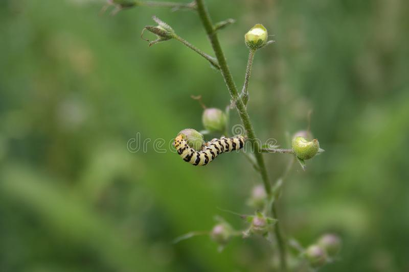 Striped caterpiller dinner royalty free stock images