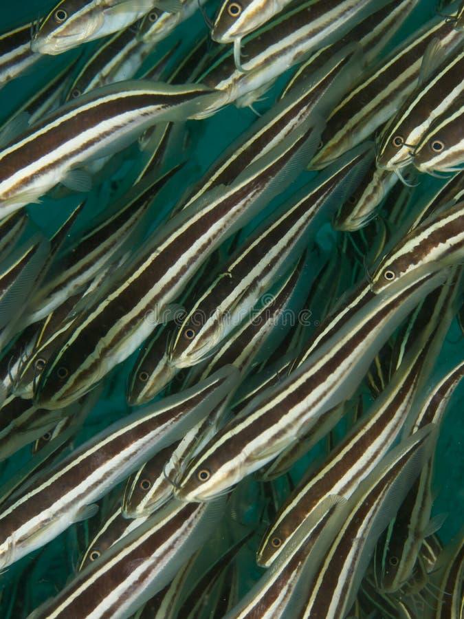 Striped Catfish stock photo