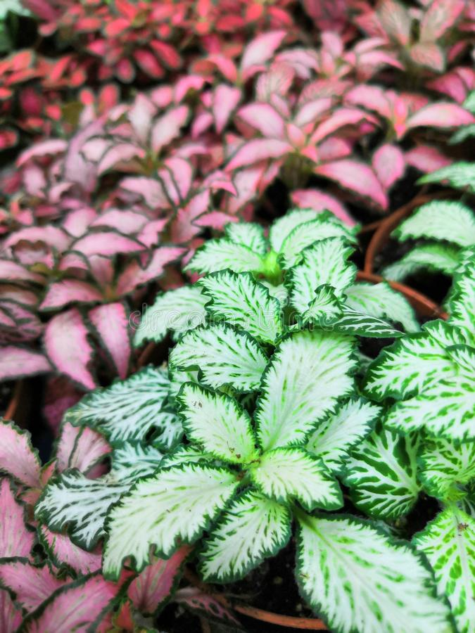 Striped colorful bright beautiful leaves of tropical plants fittonia background royalty free stock images