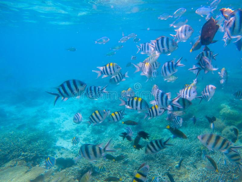 Striped dascillus fish school closeup. Coral reef underwater landscape. Tropical fishes in blue water. Coral reef sea bottom. Oceanic wildlife undersea. Coral stock images