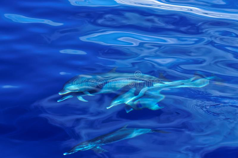 Striped Dolphins of the Carribian Island of Dominica stock image