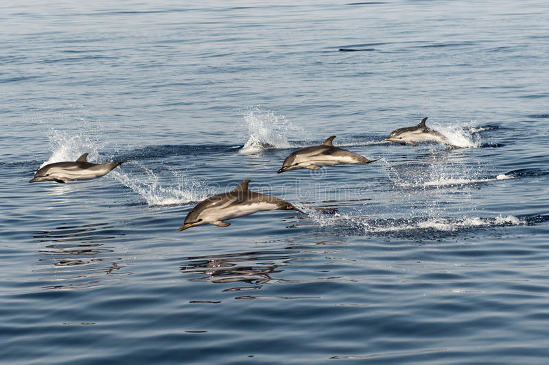 Striped dolphins playing in the air royalty free stock photography