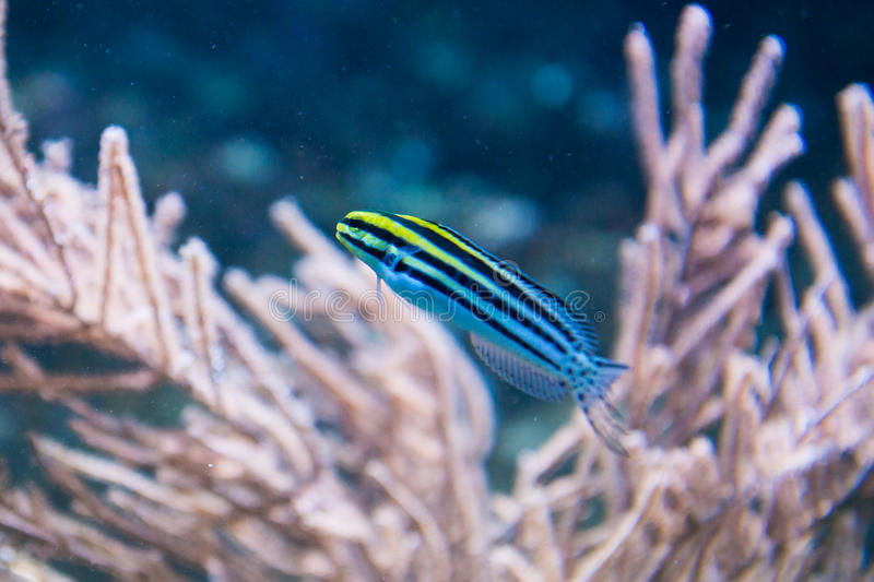 Striped Fangblenny - Meiacanthus grammistes stock images