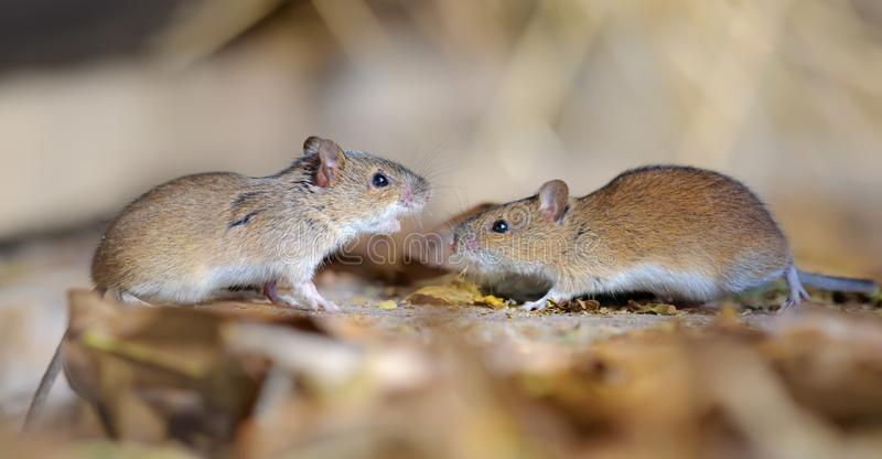 Striped field mice pair in dispute and conflict. Striped field mice pair dispute and fight stock photos