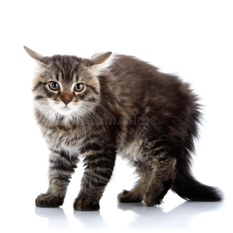 Striped fluffy angry tousled cat. Striped not purebred kitten. Kitten on a white background. Small predator. Small cat stock photography
