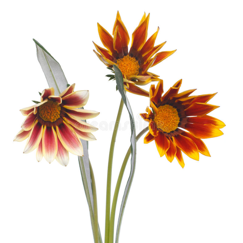 Download Striped Gazania Flower Bouquet Isolated On White Stock Image - Image: 33030261